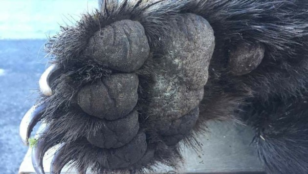 So große Tatzen kann nur ein älterer, männlicher Bär haben. (Bild: Clara Milena Steiner)