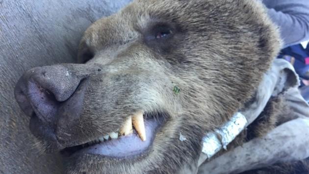 Der Bär verendete nach dem Zusamenprall mit dem Auto. (Bild: Clara Milena Steiner)