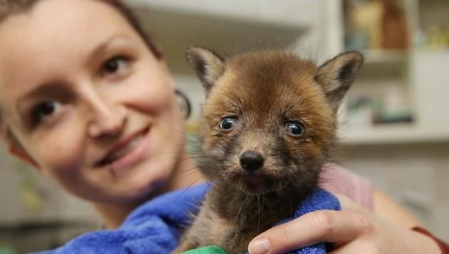 """Verein """"Kleine Wildtiere in großer Not"""": Allein heuer wurden knapp 5000 Tiere wieder aufgepäppelt. (Bild: Krone)"""