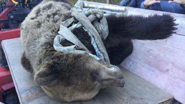 Der bei einem Unfall getötete Bär soll ausgestopft werden (Bild: Clara Milena Steiner)
