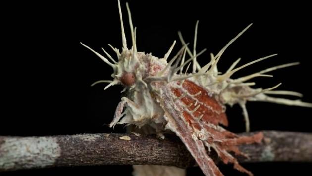 Ameisen Pilz