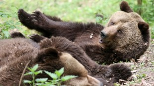 Braunbären (Bild: APA/dpa-Zentralbild/Bernd Wüstneck)