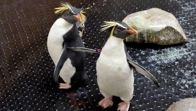 Ab dem Frühjahr 2020 werden die Pinguine ihre neue Heimat beziehen. (Symbolbild) (Bild: APA/Tiergarten Schönbrunn/Norbert Potensky)