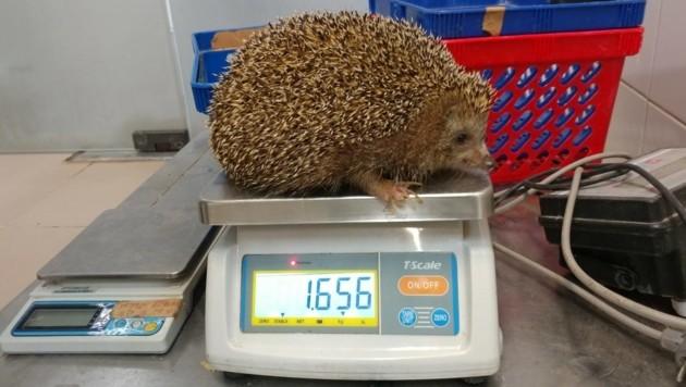 Stattliche 1,6 Kilogramm wiegt das Schwergewicht.