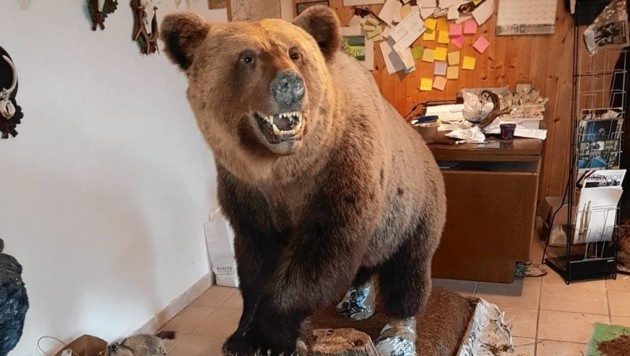 Der bei einem Verkehrsunfall getötete Braunbär wurde in der Werkstatt von Eric Leitner präpariert (Bild: Wallner Hannes)