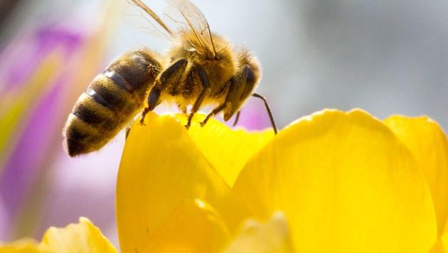Eine Honigbiene auf einer Krokusblüte