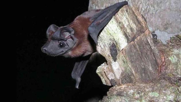 Die neu entdeckte Fledermausart Cynomops freemani (Bild: Thomas Sattler)