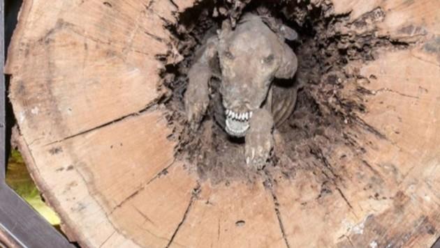"""""""Stuckie"""" steckt seit über 50 Jahren in einem Baum fest. (Bild: twitter.com/Southern Forest World)"""