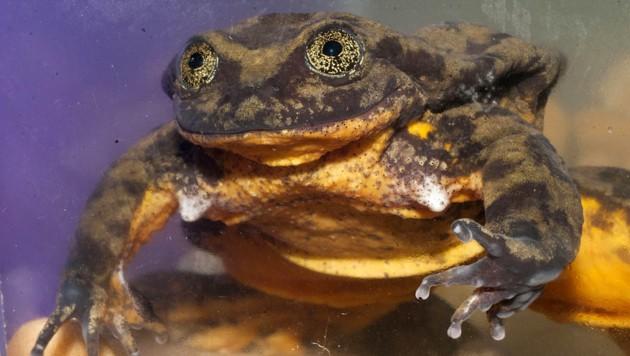 """Der Sehuencas-Wasserfrosch """"Romero"""" ist das letzte bekannte Exemplar seiner Art. (Bild: Global Wildlife Conservation)"""