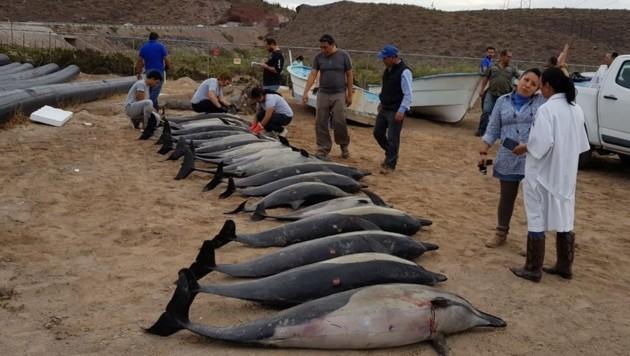 33 Delfine konnten gerettet werden, 21 verendeten. (Bild: twitter.com)