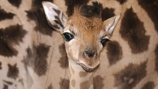 (Bild: APA/Zoo Schmiding)