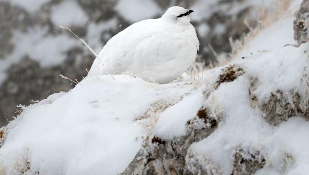 Schneehuhn mit weißem Federkleid auf einem Felsen