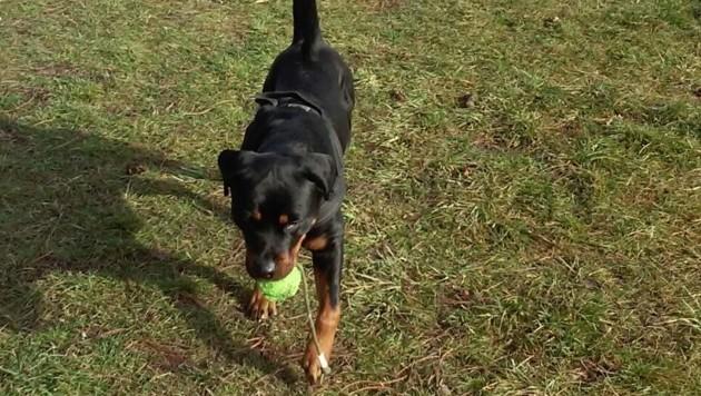 Symbolbild: Der Spielball des Therapiehundes war in die Mur gefallen, er sprang ihm nach.