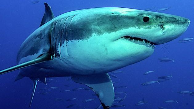 Ein Weißer Hai im Ozean (Bild: stock.adobe.com, krone.at-Grafik)