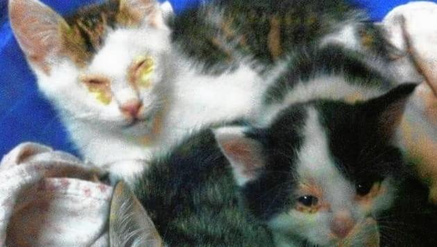 Verpickte Augen, erbärmlicher Zustand: steirisches Katzenleid (Bild: Bild ohne Text)