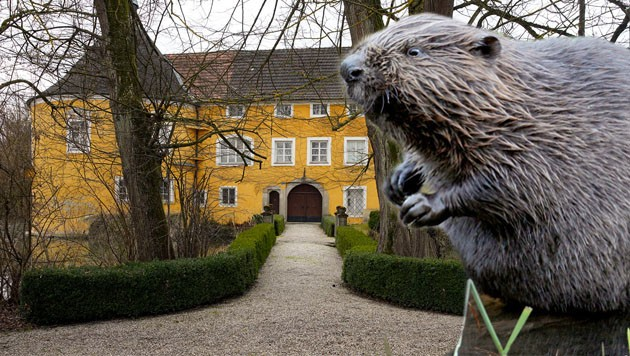 Biber machen dem Schloss Zeileis in Gallspach zu schaffen - und dürfen nun gejagt werden. (Bild: Wenzel, DPA Felix Heyder)
