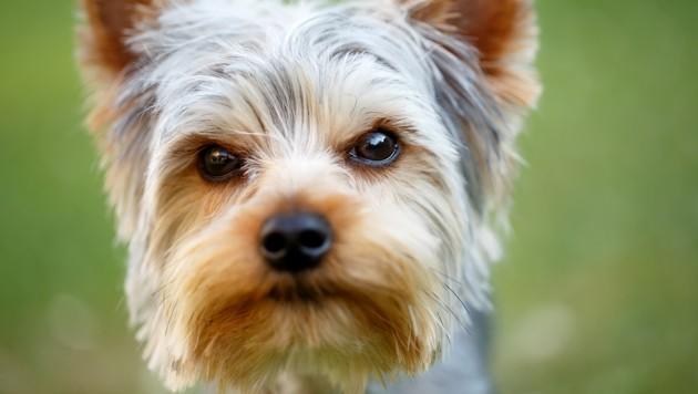 Yorkshire Terrier (Symbolbild) (Bild: stock.adobe.com, krone.at-Grafik)