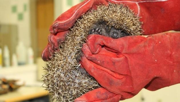 Der Igel erholt sich im Tierschutzhaus in Vösendorf. (Bild: WTV)