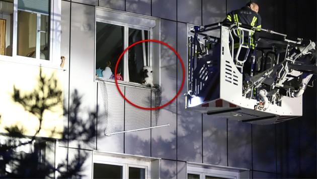 Die schwarz-weiße Katze stecke kopfüber in einem Fensterspalt der Wohnung in Wels-Lichtenegg fest (Bild: Matthias Lauber/laumat.at)