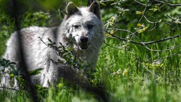 Wolf (Symbolbild) (Bild: AFP)