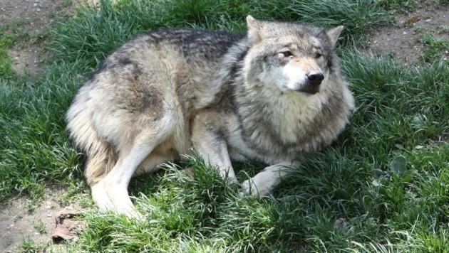 Ein offenbar frühjahrsmüder Wolf im Tierpark Altenfelden. (Bild: Werner pöchinger)