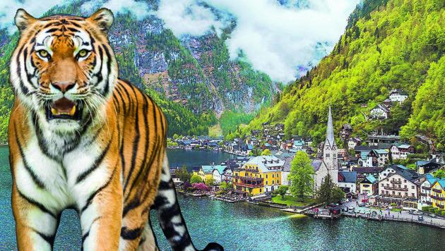 Die Inder hatten Angst, dass sich im Wald bei Hallstatt ein Tiger verstecken könnte... (Bild: ViennaPress/ Andreas Tischler, stock.adobe.com)