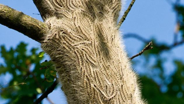 Raupen des Eichenprozessionsspinners (Bild: dpa-Zentralbild/Patrick Pleul)