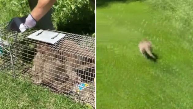 In der Natur wurde der Waschbär wieder freigelassen - er flitzte davon. (Bild: kameraone)