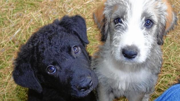 Ein anklagender Blick: Diese beiden Welpen wurden gerettet (Bild: Purzel & Vicky)
