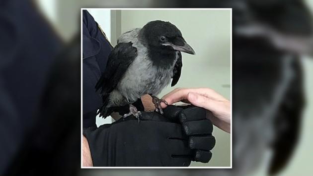 Der Jungvogel soll nun in eine Eulen- und Greifvogelstation gebracht werden.