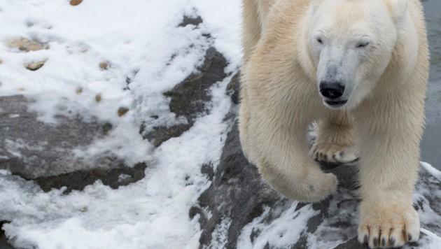 Vater Rettet Töchter Vor Eisbär Und Wird Getötet Kroneat