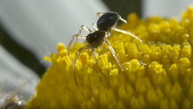 Spinnen heben mithilfe elektrischer Felder ab