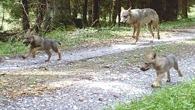Das Wolfspaar, das am Truppenübungsplatz Allentsteig lebt, hat wieder Nachwuchs bekommen. (Bild: twitter.com/Michael Bauer)