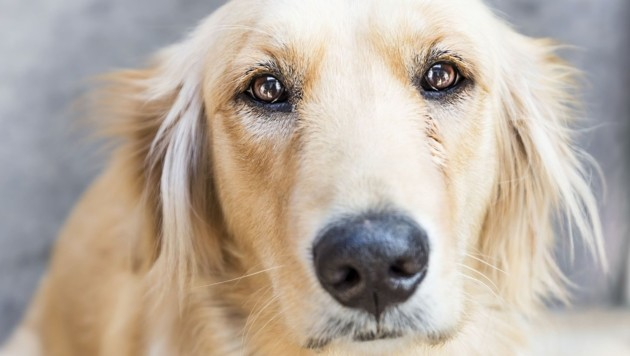 Golden retriever dog (Bild: Getty Images/iStockphoto)