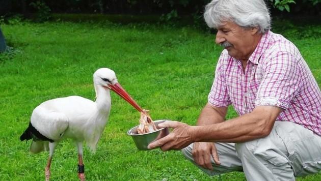Storchenvater Helmut Rosenthaler aus Tillmitsch mit einem seiner Schützlinge (Bild: Krone)