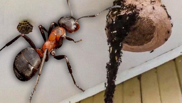 Ameisen Bilden Körperkette Und Greifen Ein Wespennest An