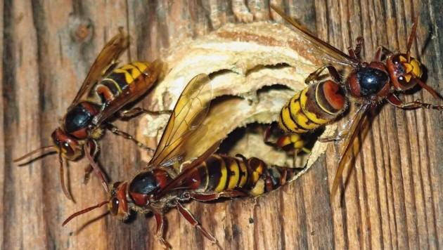 Hornissen! Schon ihr Brummen ist eindrucksvoll. Sie sind geschützt. (Bild: Johannes Gepp)