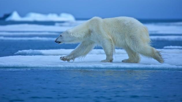 Jäger In Kanada Von Eisbär Getötet Kroneat