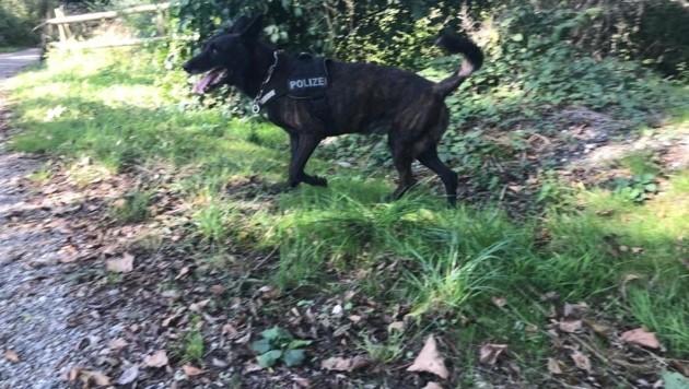Ein cleverer Suchhund mit feiner Schnauze fand die Vermisste kurz vor Mitternacht auf dem Berg. (Symbolbild) (Bild: Helmut Ebner)