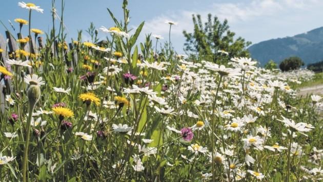 Jeder Kärntner kann mithelfen, durch Blumenwiesen nützliche Insekten nachhaltig zu schützen. (Bild: www.bienenwiesn.at)