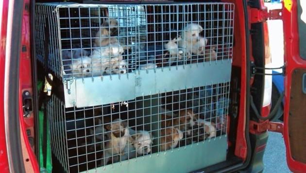 Der unseriöse Handel mit kleinen Hunden boomt seit der Corona-Krise (Archivbild). (Bild: Interreg Italia-Österreich)