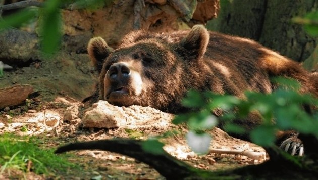 Braunbär (Bild: FOUR PAWS)