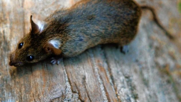 Eine kleine Ratte legte zwei Stadtteile lahm