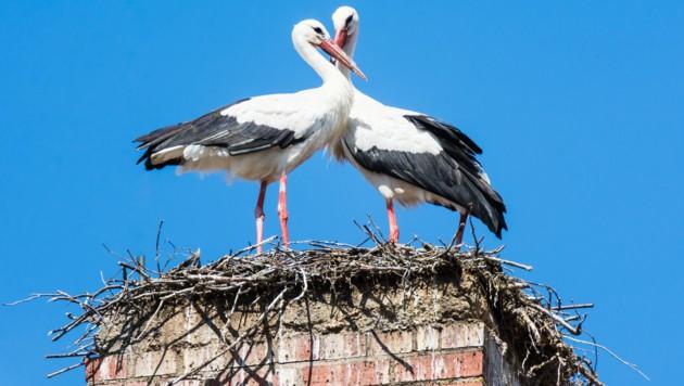 Das Storchenpaar dürfte das vergiftete Futter selbst ins Nest getragen haben (Symbolbild). (Bild: stock.adobe.com)