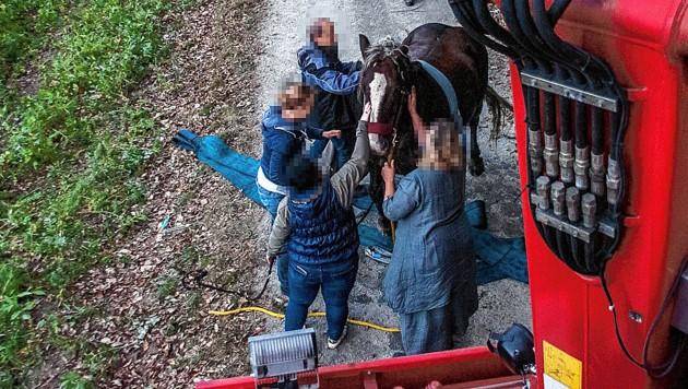"1000-Kilo-Pferd ""Flaxi"" nach seiner Rettung aus dem Bachbett"