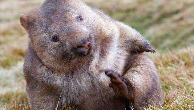 Wombat (Bild: stock.adobe.com)