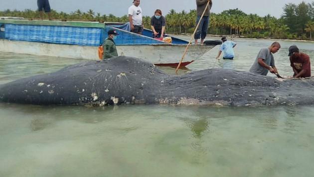 In diesem toten Wal wurden sechs Kilo Plastik gefunden.