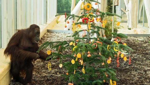 Da staunten die Orang-Utans im Tiergarten Schönbrunn nicht schlecht: ein Christbaum nur für sie. (Bild: APA/DANIEL ZUPANC)
