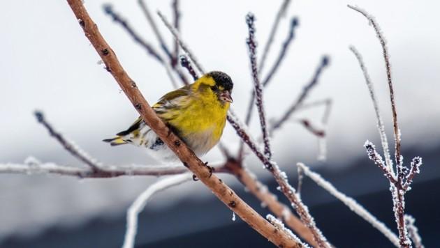 Derzeit drängen die Schneemassen viele Vögel in die Täler, wo die gefiederten Sympathieträger auf Futter hoffen. (Bild: Hannah Assil)