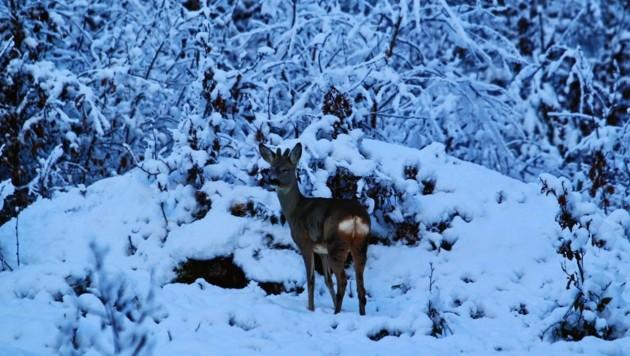 Wildtiere brauchen ihre Energie zum Überleben im Winter - Stress kann sie töten. (Bild: sepp pail)